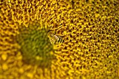 Fields of Gold (CORDAN) Tags: cordan dmyers 2017 nikond300 nikkor105mmf28vrmicro portangeles backyard micro sunflower closeup macro pollen honeybee