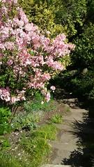 rhododendron (sftrajan) Tags: strybingarboretum sanfranciscobotanicgarden botanischergarten botanicalgarden goldengatepark 2017 spring jardinbotanico jardínbotánico jardinbotanique botaniskhave botaniskträdgård rhododendron pink shrub flowering flowers