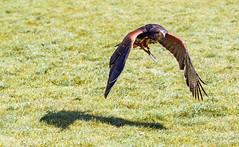 Buse à queue rousse (G. Regisser Photographie) Tags: volerie des aigles kintzheim canon 5d mark iii 70 200 f28 is ii alsace plumes