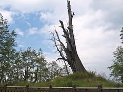 夫妻樹 (檸檬碎片) Tags: 夫妻樹 gf2