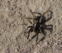 Alopecosa cuneata (Phil Arachno) Tags: schwanheimerdüne arachnida chelicerata arthropoda germany hessen deutschland spinne spider lycosidae