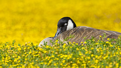 Dreaming in Yellow (opheliosnaps) Tags: wild nature sleeping yellow daisy goose laying down spring dreaming outdoors bright