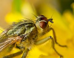 Fly Macro (benevolentkira7) Tags: ngc fly flies macro close up color colorful yellow green