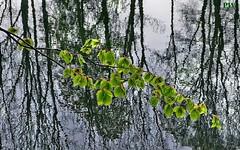 Blätter am Teich (peterphot) Tags: wasser teich waldteich sachsen mai leica blätter