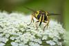 David and Goliath (kuhnmi) Tags: hoverfly fly big small tiny flower white yellow frightening eyes insect animal nature schwebfliege fliege gross klein winzig grössenunterschied ratio sizeratio grösse size pflanze blüte weiss gelb gelbschwarz black insekt tier fauna tierwelt lebewesen natur