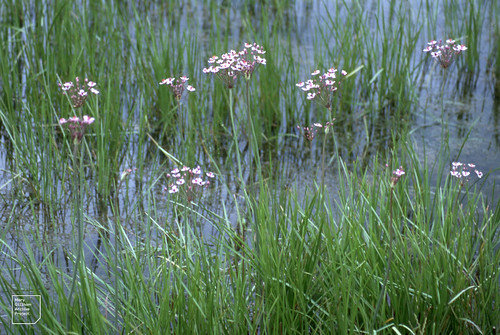 Butomus umbellatus is all round Lamby Lake in June 2003 spreading into deeper water