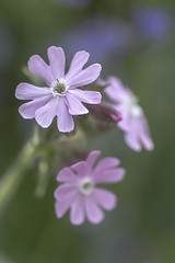 Silene Dioica (Charliebubbles) Tags: canoneos60d flowers tamron90mmmacro northwich countrypark photoshopcc 2017 closeup nature wildlife