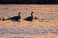 Sunset couple. (GWP_Photo) Tags: calgary alberta canada goose sunset marsh bird couple nikon d7000 nikkor 200500 outdoors