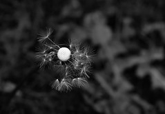 Make a wish... (sruthyanu) Tags: nikon flickr nature bw monochrome mono season may spring makeawish dandelion