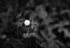 Make a wish... (sruthyanu) Tags: nikon flickr nature bw monochrome mono season may spring makeawish dandelion