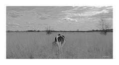MAASDUINEN     Schwarz - Weiß (Babaou) Tags: niederlande nederland nationaalpark nationaalparkdemaasduinen maasduinen kuh rinder sw nb bw dxo limburgnoord limburgslandschap 24mmstm