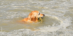 Struggling dog with mooring rope (philbarnes4) Tags: dog canine setter swimming rope sea water broadstairs viking bay thanet kent england