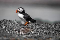 frailecillo, puffin (barragan1941) Tags: aves avesmarinas escocia frailecillo islasfarne