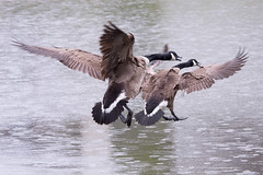 Canada Geese on a Rainy Day 4-22-2017-5 (Scott Alan McClurg) Tags: anserinae anserini bcanadensis branta aggression aggressive animal bird canada canadageese canadagoose defend defensive fight fighting flap flapping flight fly flying geese goose life nature naturephotography neighborhood pond run spring suburbs urban water wild wildlife