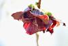ポポー(ポーポー)の花