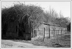Kidby Nurseries (my art through photography) Tags: 50mm 503cx analogue derelict farm film greenhouses hasselblad ilforddelta400 kidby nurserynurseries ruraldecay clactononsea essex uk