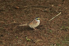 White-Throated Sparrow Out And About 001 - Zonotrichia Albicollis (Chrisser) Tags: birds bird sparrows sparrow whitethroatedsparrows whitethroatedsparrow zonotrichiaalbicollis nature ontario canada canoneosrebelt6i canonef75300mmf456iiiusmlens emberizidae