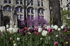 Varied (aerojad) Tags: chicago spring flower flowers nature flora universityofchicago university windows window windo tulip tulips outdoors chicagoist