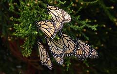 Monarch butterflies. (Bernard Spragg) Tags: nature butterfly lumixfz1000 closeupnature insects