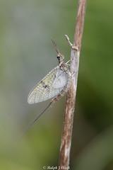 Mayfly (Ralph J Clark) Tags: mayfly aquaticinsect spring sigma105mmf28exdgmacroos surrey riverwey papercourtmeadows