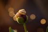 Snail (raimundl79) Tags: wow myexplorer macro pfingstrose image lightroom ländle lichtspiel photographie photoshop austria österreich fotographie foto vorarlberg nikon nikond800 rose blume blumenfoto flickrr explore entdecken flickrexploreme