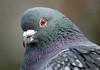duif artis JN6A4496 (joankok) Tags: duif pidgeon artis vogel bird