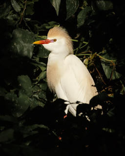 Cattle Egret_20A0646