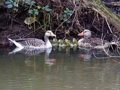 Familie Graugans (Ellenore56) Tags: 29042017 graugänse graugans familiegraugans familie gänseschar graygoose goose greylaggoose anser anseranser geese family familygreylaggoose gänseküken gosling wasservögel wasservogel vogel vögel bird birds waterbird wasser water flus lake river fluss ufer bank waterside tier animal tiere animals lebewesen creature fauna tierwelt natur nature szene scene sequence scenery detail moment augenblick sichtweise perception perspektive perspective reflektion reflection reflexion farbe color colour licht light inspiration imagination faszination magic leben life newlife panasonicdmctz61 ellenore56 gaggleofgeese wildgänse wildgans brant emotion