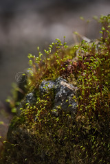 DSC_2076.jpg (Knox Art Works) Tags: vegetation surface moss composition artistic nature ecology outdoor fall texture garden wild macro flora wilderness stone lichen organic green environment spore blurred humid minnesota