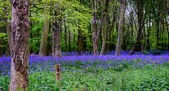 Bluebells - Wanstead Flats (Aleem Yousaf) Tags: prime bluebells flowers bloom wanstead flats spring london morning photo walk nikon d800 50mm nature landscape