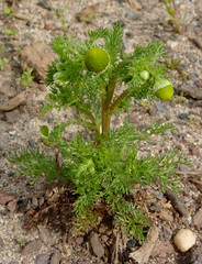Pineapple Weed (Dendroica cerulea) Tags: pineappleweed matricariadiscoidea matricaria anthemideae asteroideae asteraceae asterales plant flower spring donaldsonpark highlandpark middlesexcounty nj newjersey