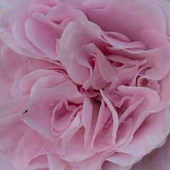 close-up of rose (Virginia McMillan) Tags: flowers gardens wellington newzealand roses botanic floral