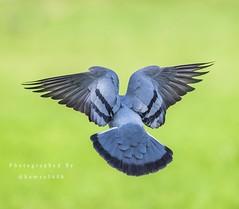 (Hamza0606) Tags: saudiarabia saudi ksa السعودية كانون تصويري حمامة طيور 5diii 1dxii 1dx canon animal high one green birds bird