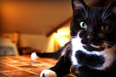 Gallery Cat (ilovecoffeeyesido) Tags: cat tuxedocat artgallery castlegallery fortwaynein availablelight