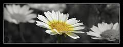 (J.Gargallo) Tags: margarita margaritas flor flores flower flowers garden jardín macro macrofotografía framed castellón castellóndelaplana comunidadvalenciana españa canon canon450d 450d eos eos450d