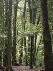 Tree fern (Teelicht) Tags: farn maungatautari moos neuseeland newzealand nordinsel northisland pukeatua schutzgebiet waikato fern moss sanctuary