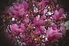Flower-Collection-DSC_1145 (fatima_suljagic) Tags: photographer prints fineartprints nature nikon melbourne australia fatima suljagic artstudiomaja