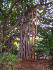 Going Back to My Roots (Steve Taylor (Photography)) Tags: roots strange odd weird tree branch hawaii banyan