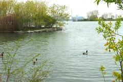"""TODAY I WILL .... Slow down, Smile.  Enjoy it."" (Trinimusic2008 - stay blessed) Tags: trinimusic2008 judymeikle nature lake lakeontario duck goose cntower may 2017 spring toronto to ontario canada"