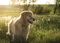 Island in the Sun 🎵 (Lightcrafter Artistry) Tags: islandinthesun happiness music weezer portrait holly dog animal golden retriever goldenretriever light lighting bokeh