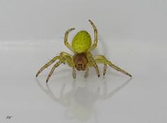 Araniella cucurbitina 'Green Orb Weaver' (Paul Knapper) Tags: macro nano enlarged larger bigger gigantic microscopic big sony photography eight legs arachnid arachnophobia