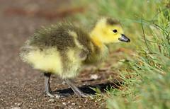 Canada Goose Chick Branta canadensis 007-1 (cwoodend..........Thanks) Tags: 2017 wildlife warwickshirewildlifetrust warwickshire brandonmarsh brandon naturereserve nature canadagoose brantacanadensis chick