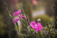 Old-fashioned Beauties (ursulamller900) Tags: trioplan2950 nelken pink bokeh flower dianthus oldfashioned