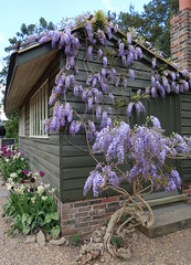 Wisteria on a shed (Badly Drawn Dad) Tags: dullweather gardens gbr geo:lat=5105084723 geo:lon=019797922 geotagged handcross nationaltrust nymans statelyhome unitedkingdom westsussex explored 2000views 3000views 4000views