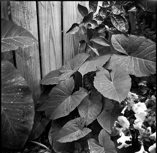 plant forms, leaves, blossoms, fence, yard, Uptown, New Orleans, Louisiana, Zeiss Ikon Nettar, Arista.Edu 400, Ilford Ilfosol 3 developer, late April 2017
