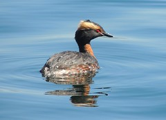 Horned Grebe (Two Cats Productions) Tags: