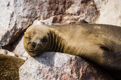 Winking seal lying and tanning on a rock. (dvdcrst) Tags: seal nature peru sea wildlife animal composition perù