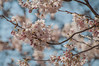 Moving Out (Majime-SPN) Tags: nikon nikondslr dslr sigmalens sigma sigma70300mm 70300mm ニコン ニコンカメラ ニコンdslr 春 花 春の花 青い 青い空 日本の春 d5000 nikond5000 spring shinjuku shinjukugyoen flowers flowerphotography flowerviewing flower flowersofflickr springflowers stunning beautiful beautifulday japan japanese 日本 zoom