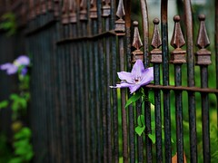 HFF!  (Explored 05.05.2017) (BreezyWinter) Tags: happyfencefriday fence flower metal rust rain lines clematis