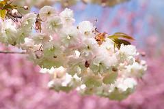 White Sakura (witajny) Tags: 2017 nature blossom cherryblossom cherry sakura white flowers seasons april tree